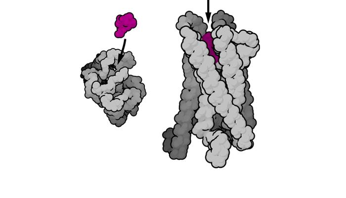 Опиоидные рецепторы человека