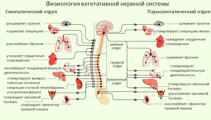 Взаимодействие мозга и ЦНС
