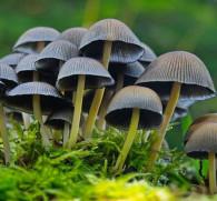 Псилоцибиновые грибы: вред для организма человека