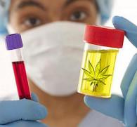 Сколько держится марихуана в организме человека (моча и кровь): время распада