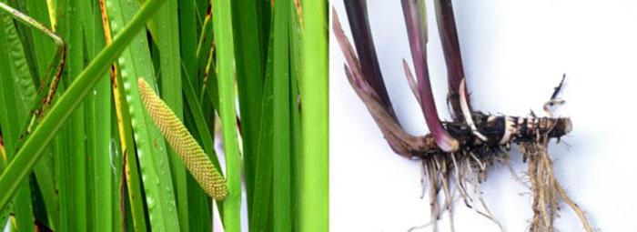 Корень Аира болотного широко используется в народной медицине