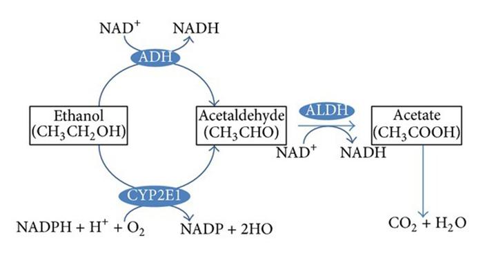 Схематический процесс метаболизма этанола