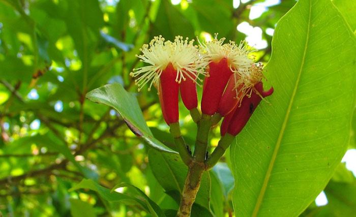 В состав шариков от курения Hin Fha входит экстракт гвоздичного дерева