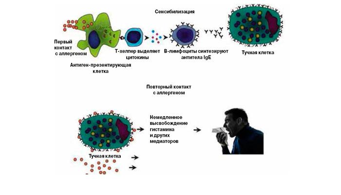 Схема сенсибилизирующего действия организма