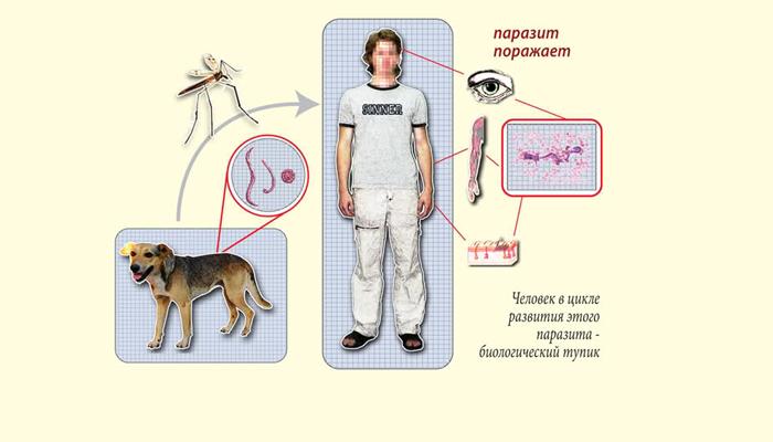 Схема заражения глистами через укус комара