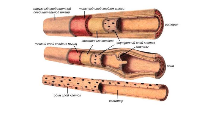 Строение кровеносного сосуда