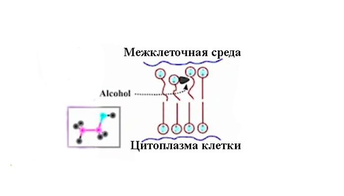 Схема влияния алкоголя на мозг человека