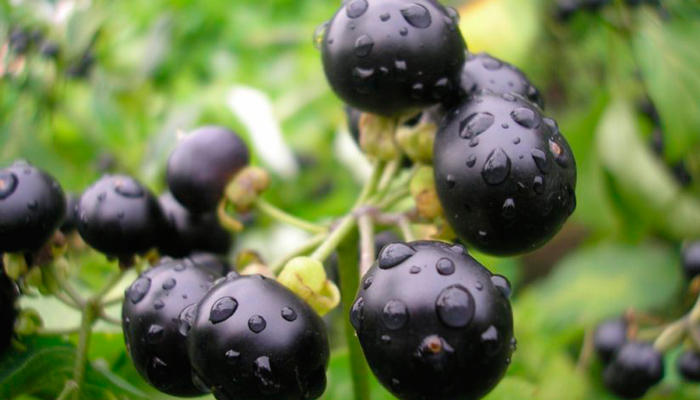 Волчьи ягоды входящие в состав препарата АлкАтекАктив