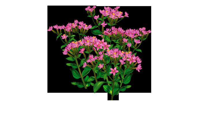 Растение Золототысячник входящие в состав лекарства АлкАтекАктив