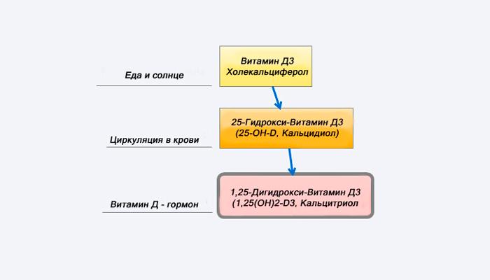 Схема переработки печени провитаминной формы витамина D