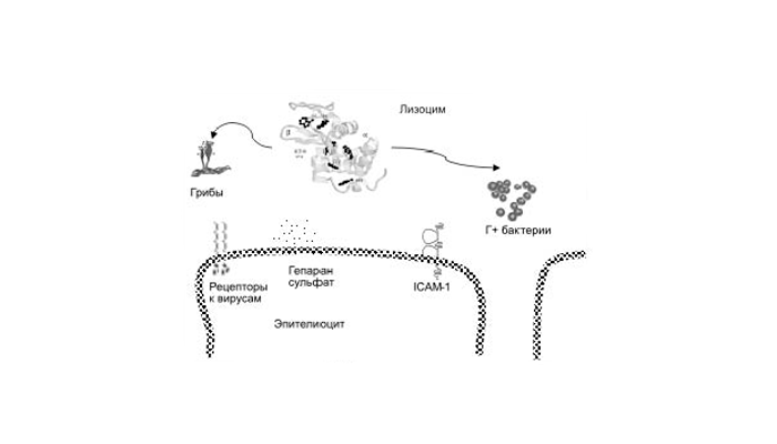 Механизм действия лизоцима, входящего в состав слюны человека