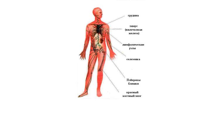 Строение иммунной системы человека