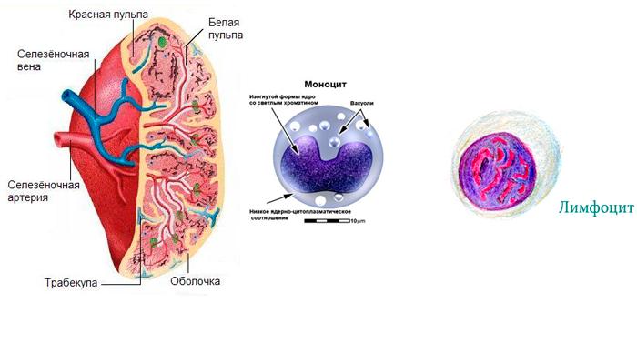 Создание моноцитов и лимфоцитов селезенкой