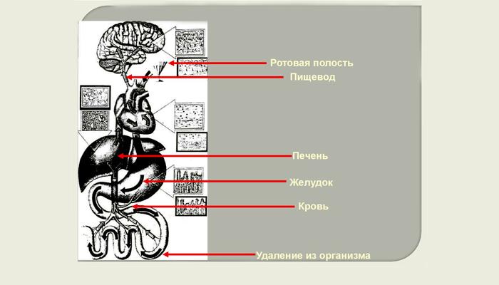 Путь алкоголя в организме при традиционном употреблении