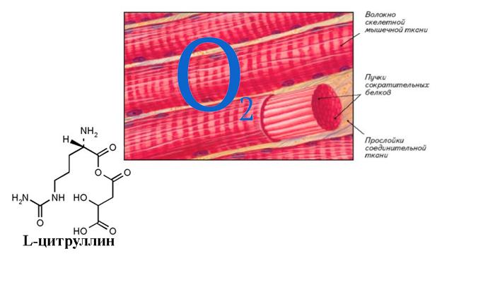 Обеспечение насыщения кислорода мышечными тканями благодаря компоненту препарата Алкофинал L-цитруллин
