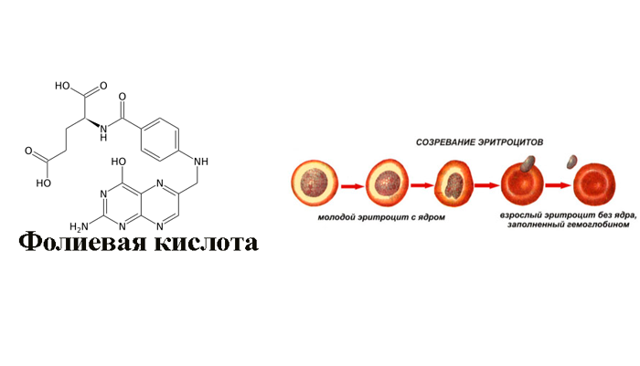 Синтез эритроцитов под влиянием фолиевой кислоты в составе лекарства Алкофинал