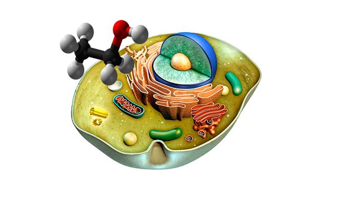 Воздействие этанола на клетку человека