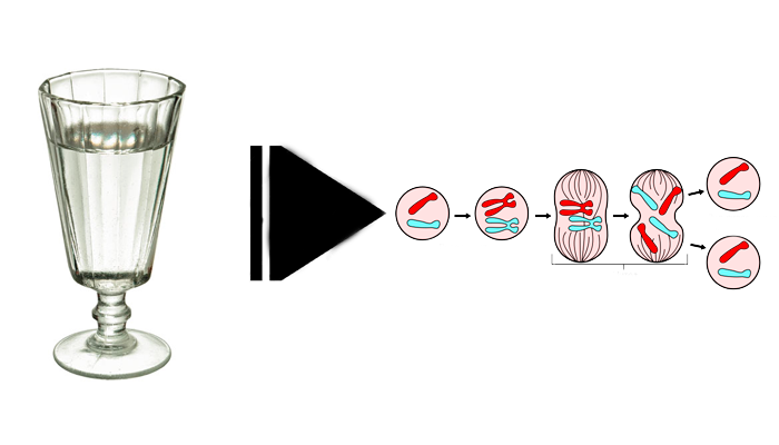 Замедление деления клеток из-за воздействия алкоголя