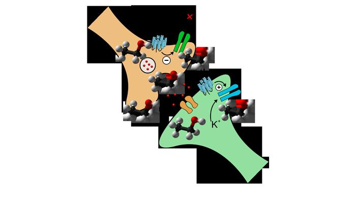 Воздействие молекул алкоголя на опиоидные рецепторы