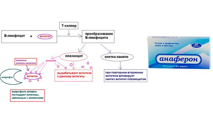 Активация гуморального иммунитета при применении препарата Анаферон