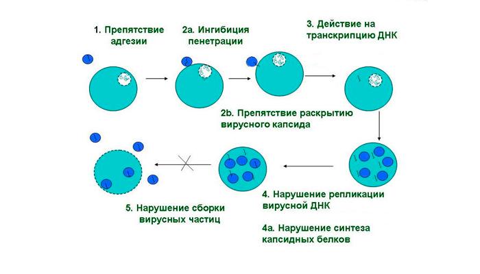 Механизм действия препарата Панавир