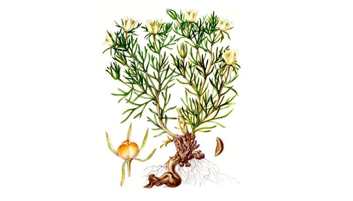 Растение «Гармала обыкновенная»