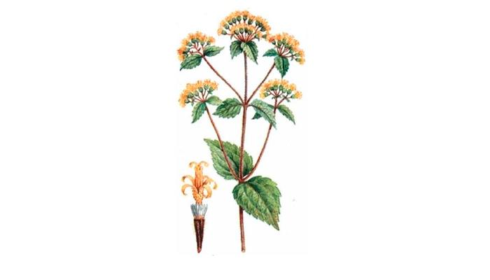 Растение Калея закатечичи