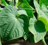 Кава-кава: экзотическое растение или сильный наркотик?