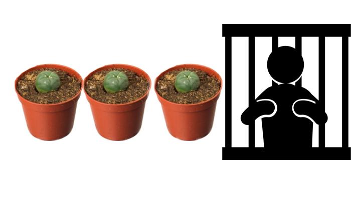 Тюремный срок за выращивание кактуса Лофофоры Уильямса в нескольких экземплярах дома