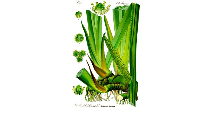 Иллюстрация растения Acorus calamus