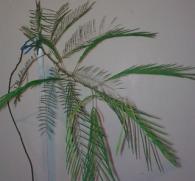 Анаденантера иноземная: обычное растение и опасный наркотик?