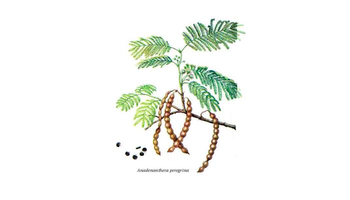 Иллюстрация растения Anadenanthera peregrina