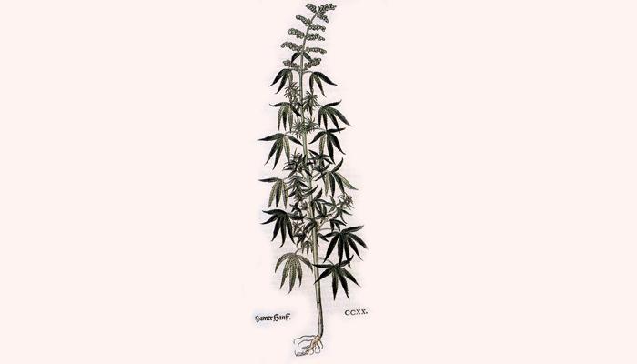 Иллюстрация индийской конопли из которой производят наркотик чарас