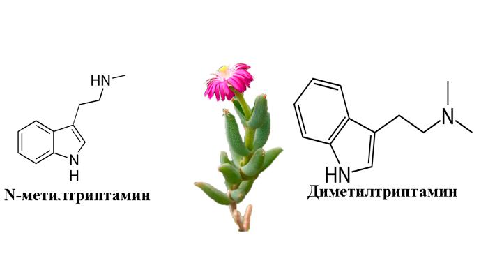 Диметилтриптамин и N-метилтриптамин в составе растения Делосперма