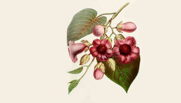 Иллюстрация растения Argyreia nervosa