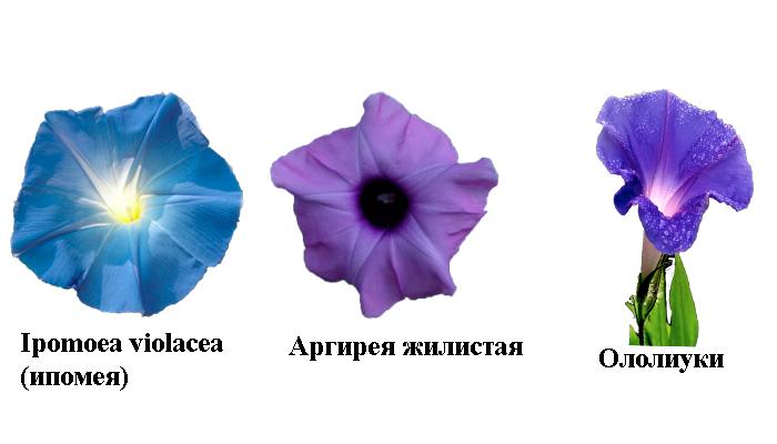 Растения из вьюнковых в которых содержатся одинаковые психоактивные вещества