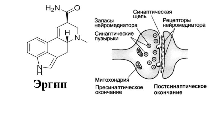 Воздействие эргина, содержащегося в Аргирее жилистой на синапс