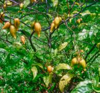 Ибога: обычное растение или сильнодействующий наркотик?