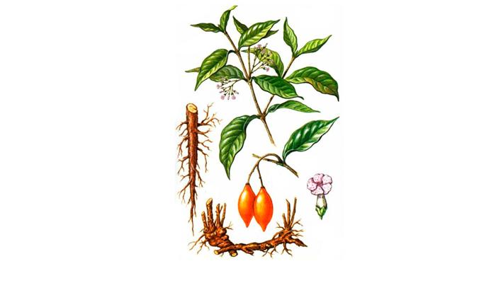 Растение Tabernanthe iboga