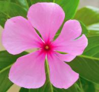Катарантус розовый: красивый цветок или сильный наркотик?