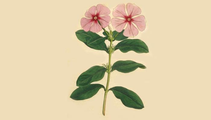 Иллюстрация растения Catharanthus roseus
