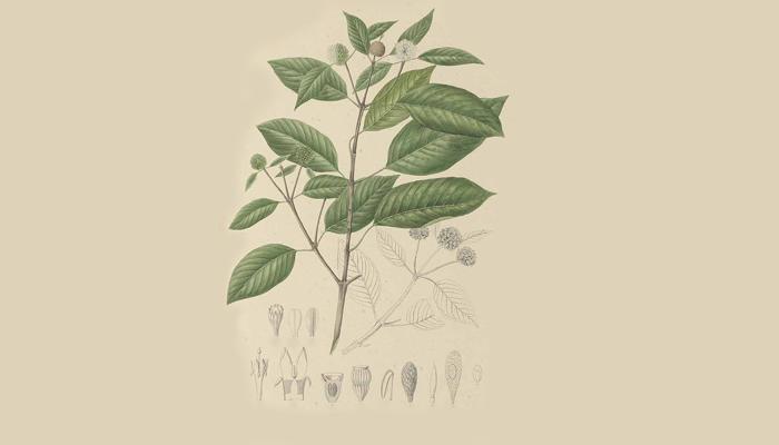 Иллюстрация растения Mitragyna speciosa