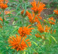 Леонотис пустырниковый: красивый цветок или опасный наркотик?
