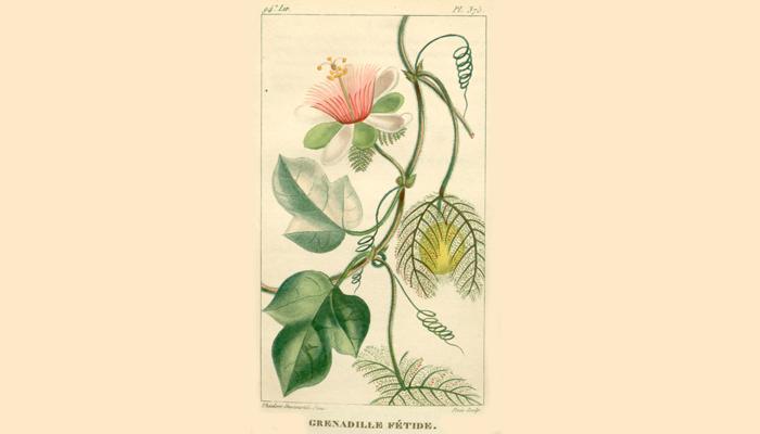 Иллюстрация растения Passiflora foetida